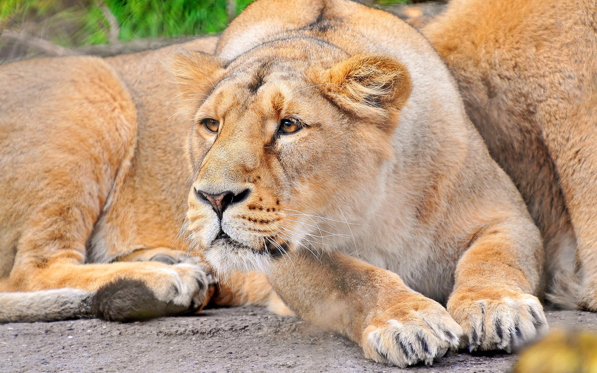 Inspirational Quotes Lion Lioness. QuotesGram