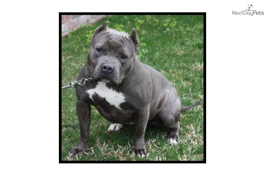 Quotes Funny American Bully. QuotesGram