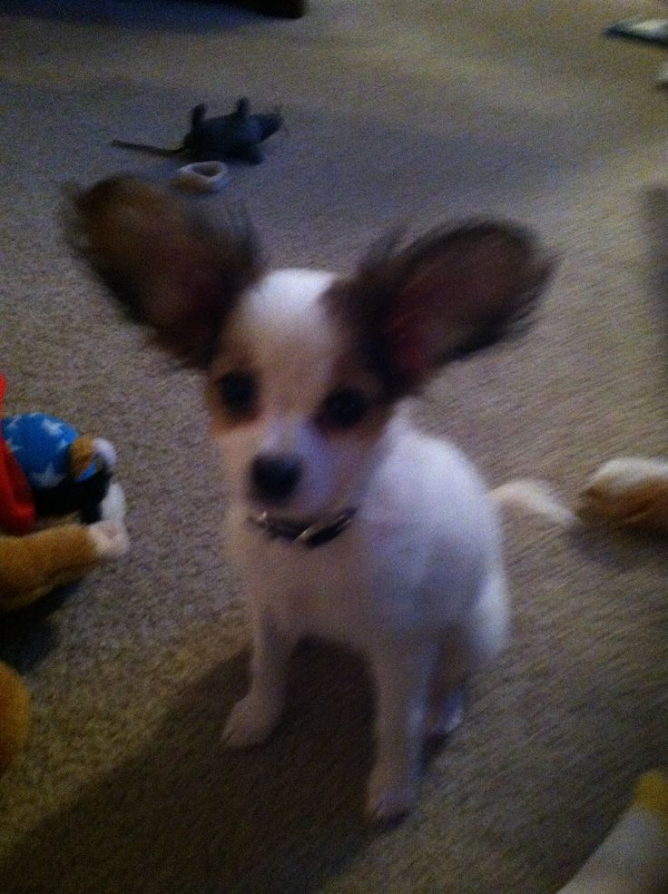 Quotes About Papillon Dogs Quotesgram