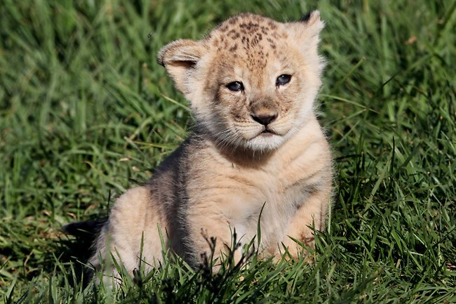 Lion Cub Quotes. QuotesGram