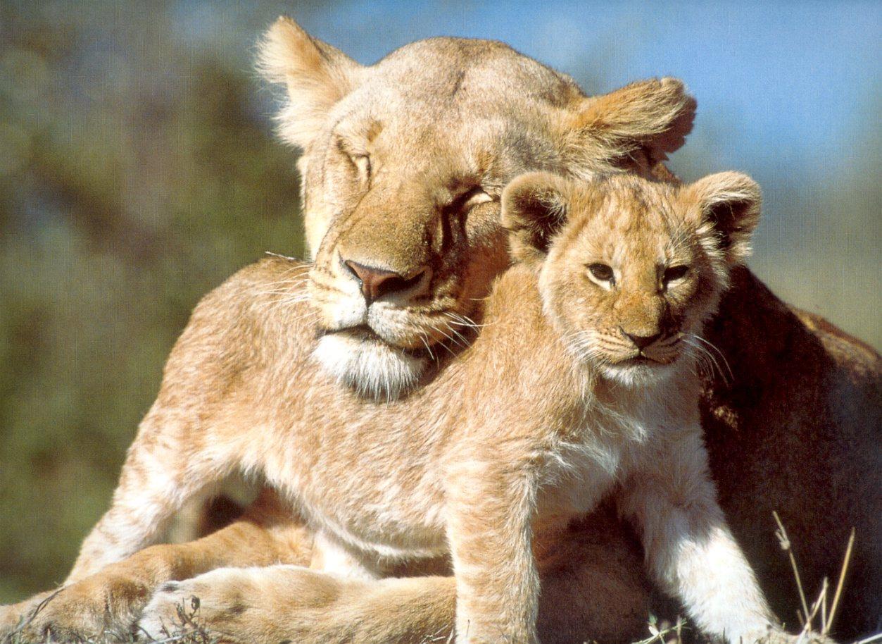 Мама лев и сын лев
