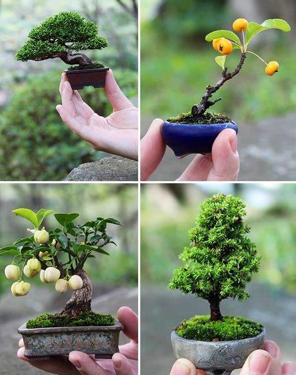 Как вырастить в домашних условиях дерево бонсай из семян