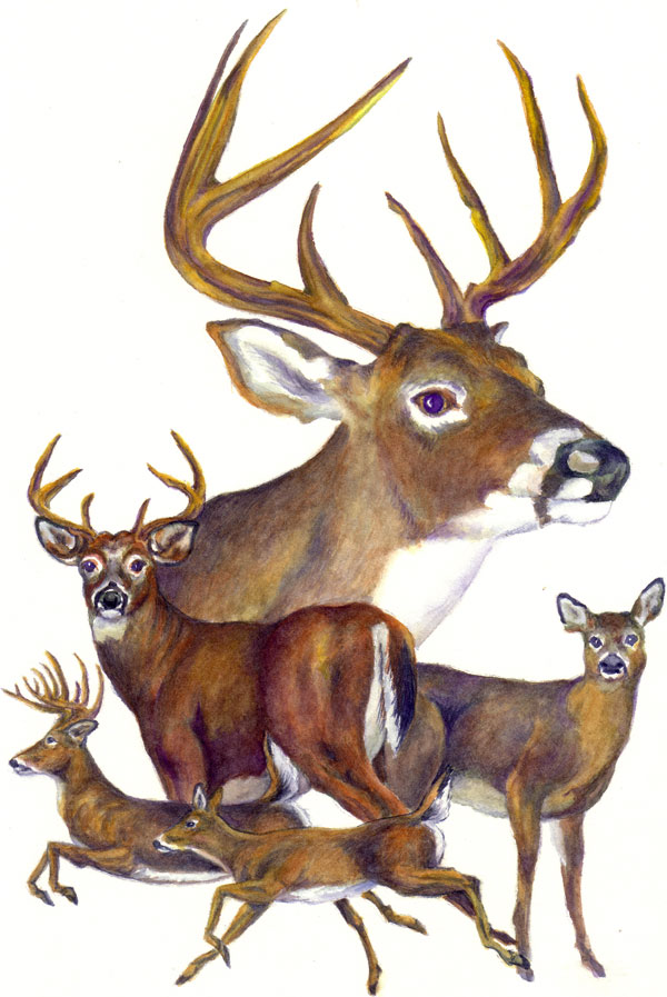 whitetail buck funny quotes cartoon quotesgram
