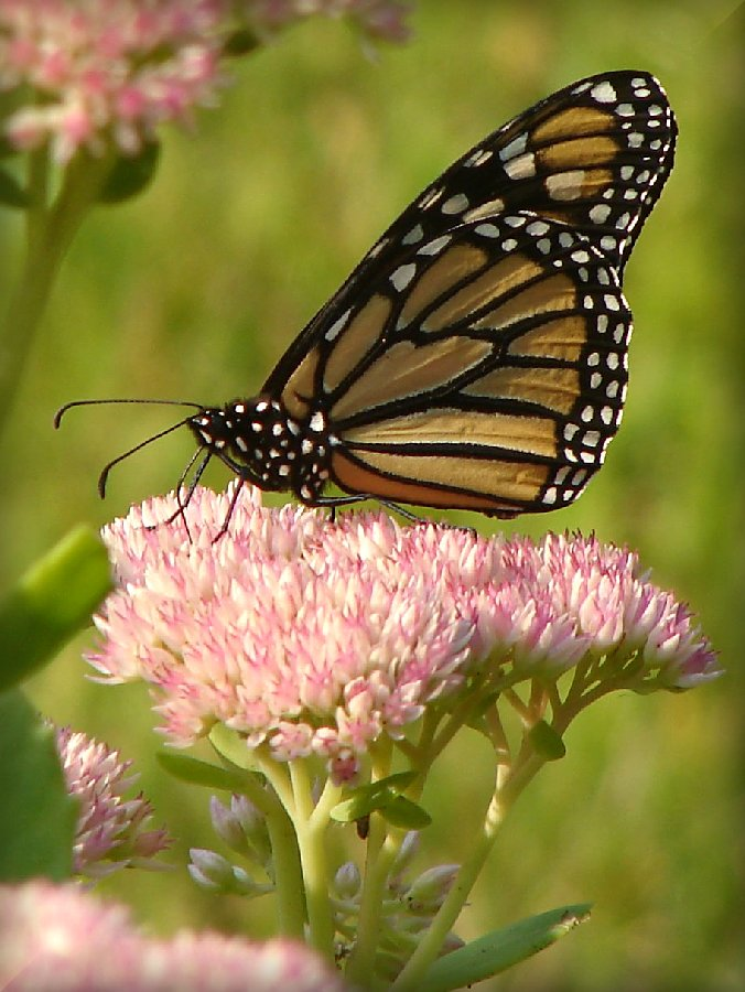 butterfly research paper