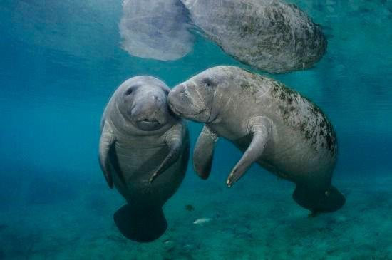 Animals Hd Wallpapers 2015 Funny Kissing Hugging Baby: Cute Manatee Quotes. QuotesGram