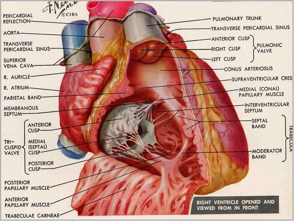 Anatomy of the hear