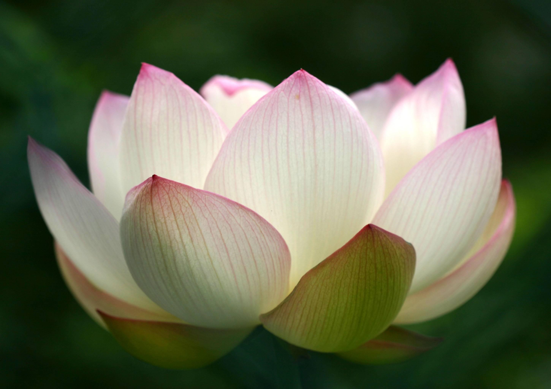 lotus blossom quotes quotesgram. Black Bedroom Furniture Sets. Home Design Ideas