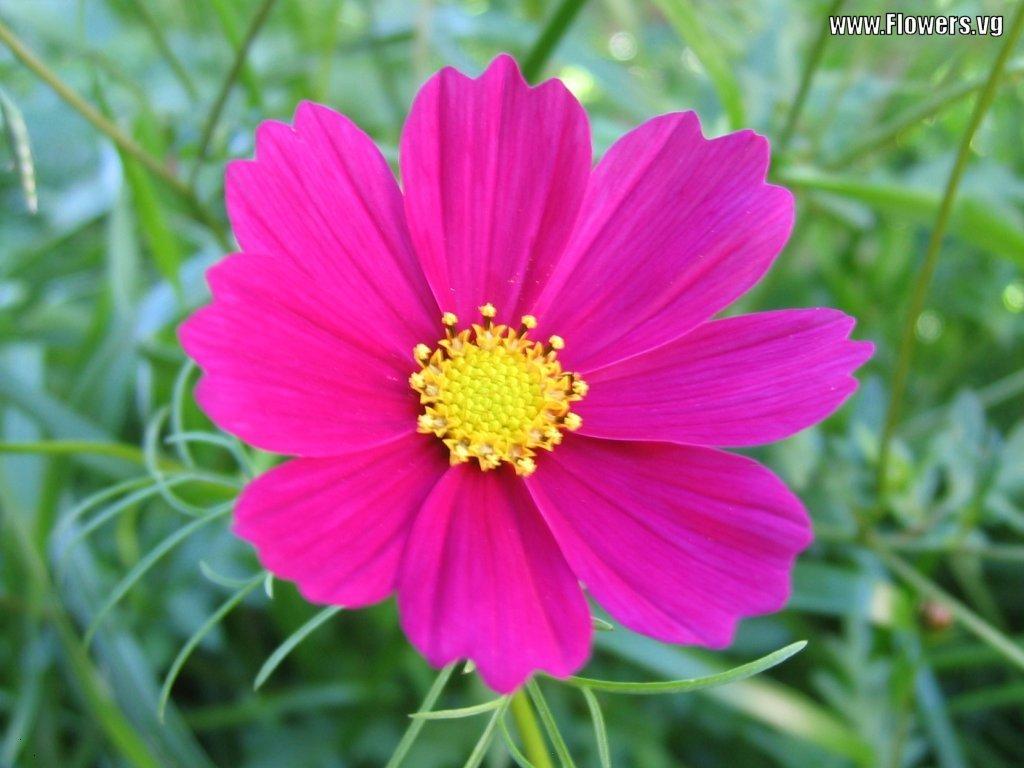 Cosmos Flower Quotes QuotesGram