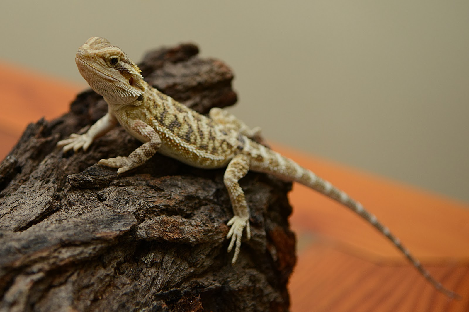 bearded lizard pictures - HD 1600×1067