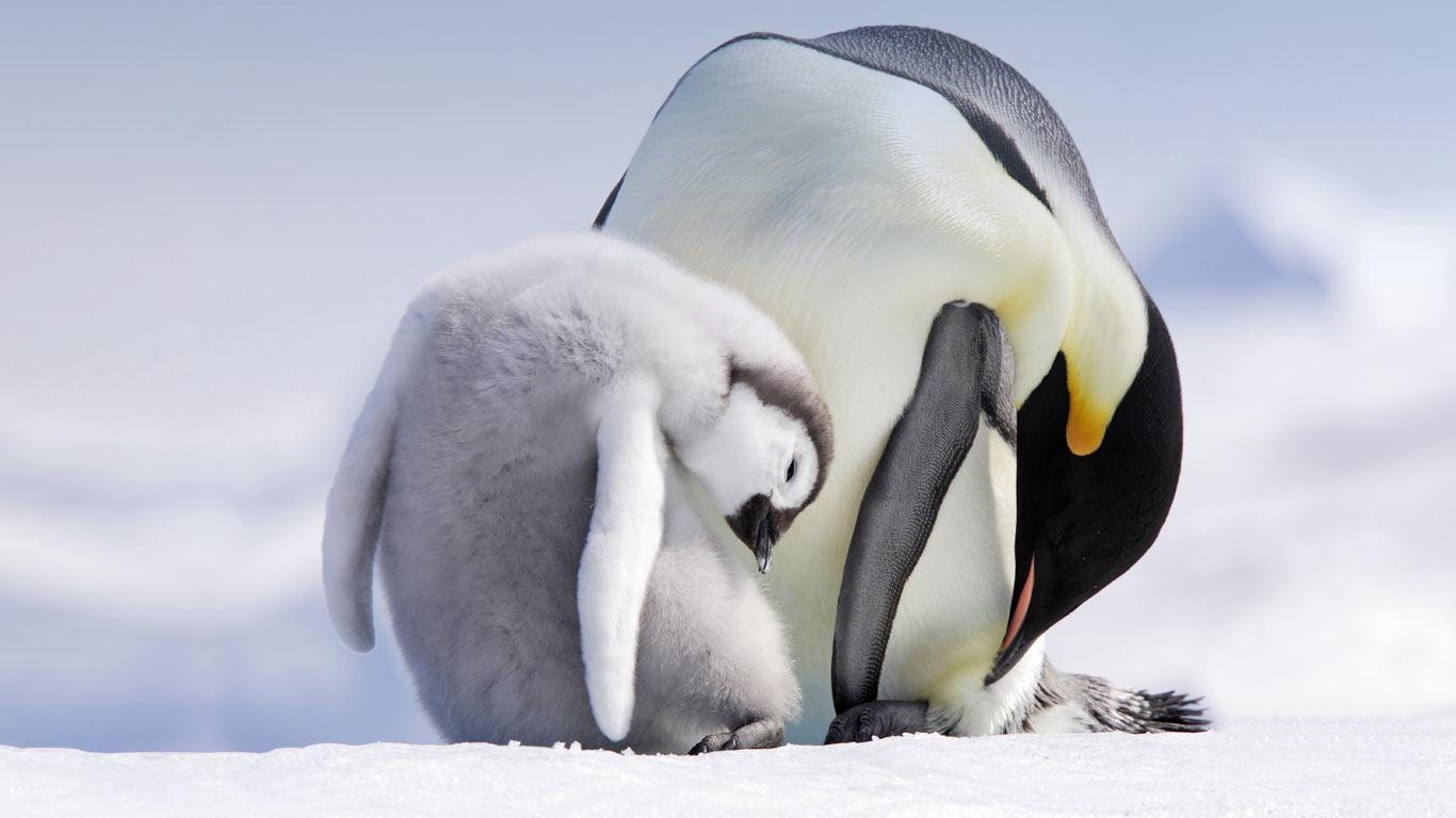 Emperor Penguin Quotes Quotesgram