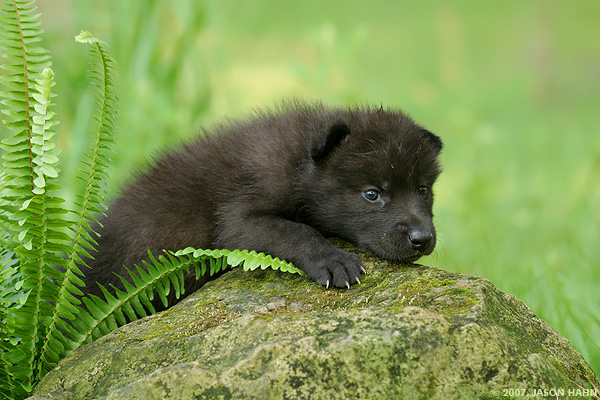Wolf Pup Quotes Quotesgram