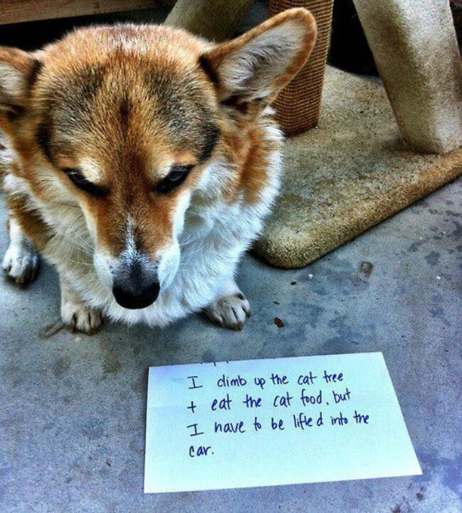 Quotes About Corgis. QuotesGram  Thank You Cute Corgi Puppy