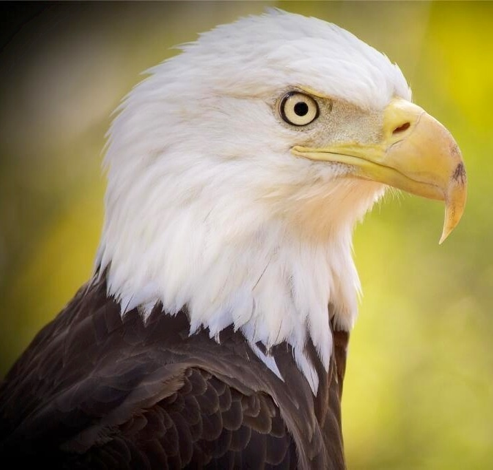 The Eagle Has Landed Quote: Quotes About The Bald Eagle. QuotesGram