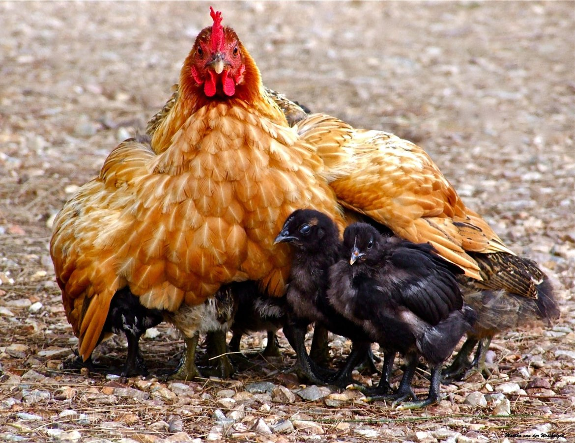 Quotes About Chicken Wings Quotesgram: Under Mothers Wing Quotes. QuotesGram