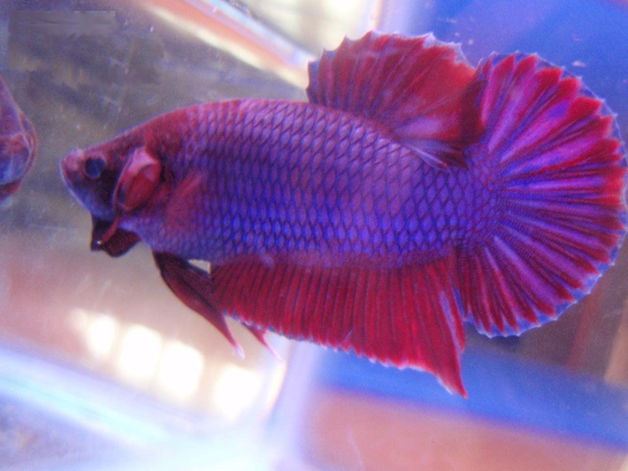 Betta fish quotes quotesgram for Cute betta fish