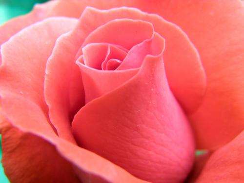 Quotes Rose Rose Petal. QuotesGram