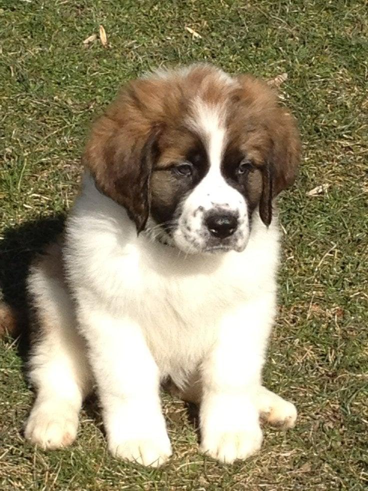 Bernard Dog Puppy