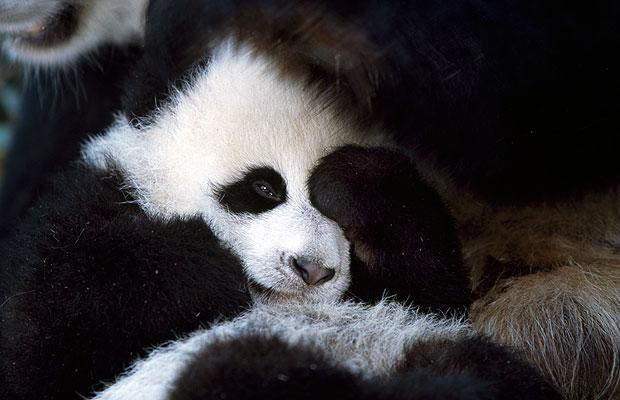 Tired Panda Bear Quotes. QuotesGram  Tired Panda Bea...