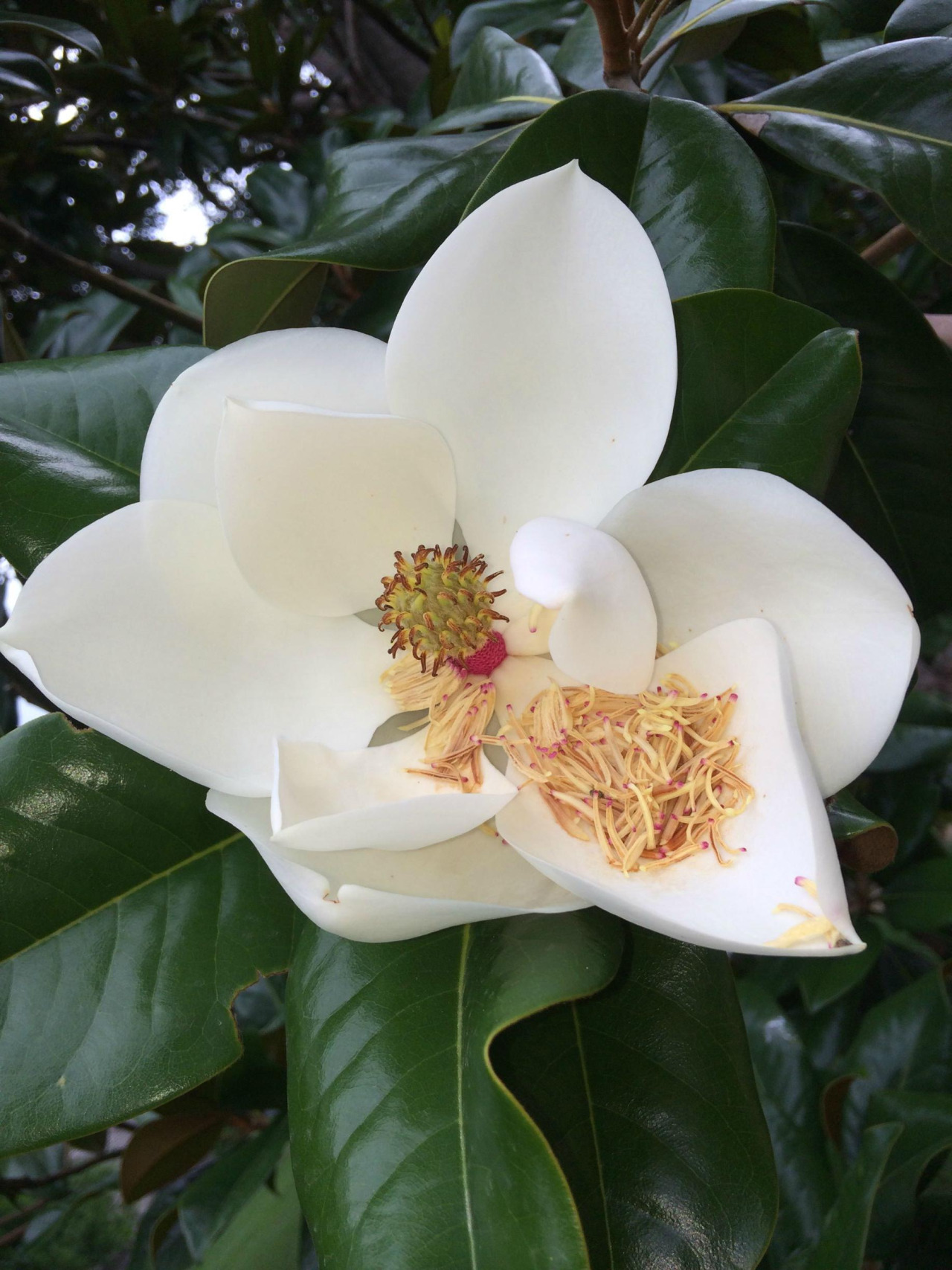 Magnolia Flower Quotes. QuotesGram I Need You Quotes And Sayings For Him
