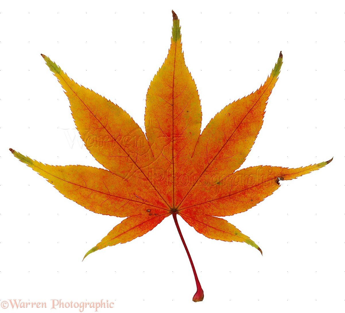 Maple Leaf Quotes Quotesgram: japanese maple leaf