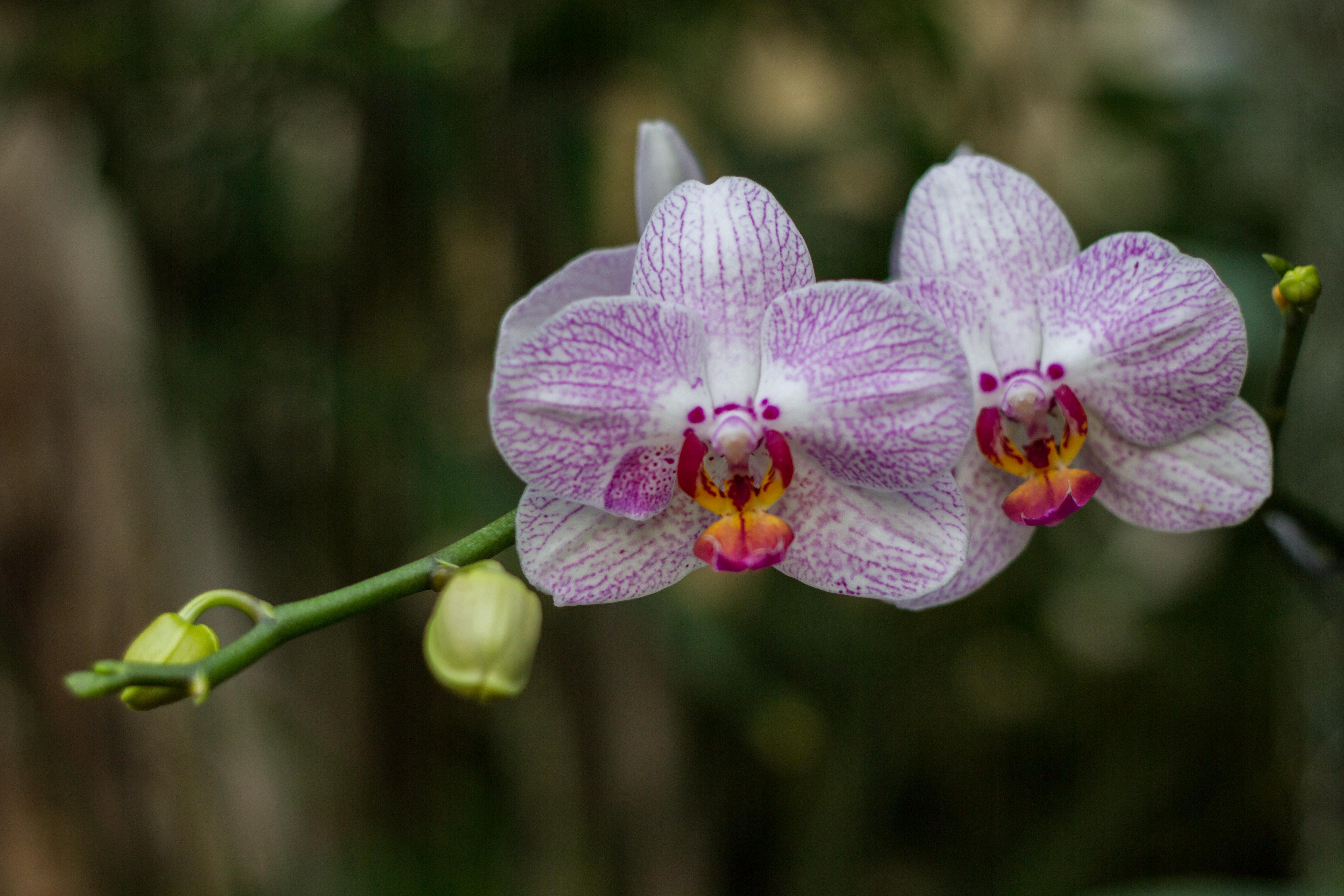 What is the Meaning of Orchids?