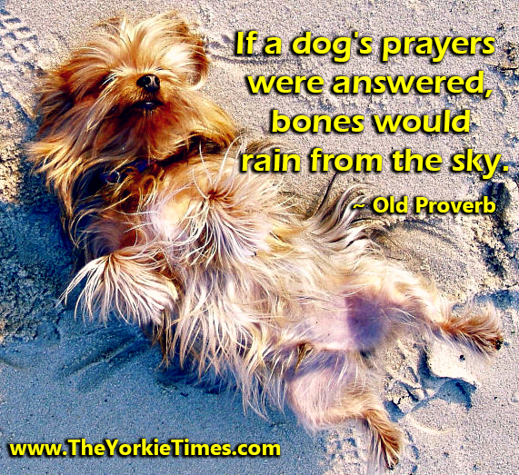 yorkie quotes yorkies love quotes quotesgram 9450