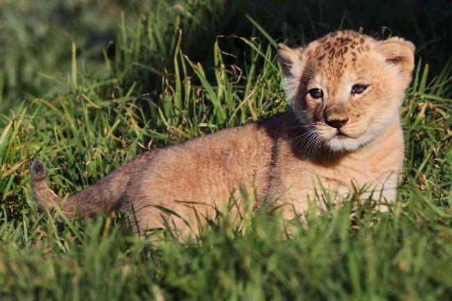 Baby Lion Quotes. QuotesGram