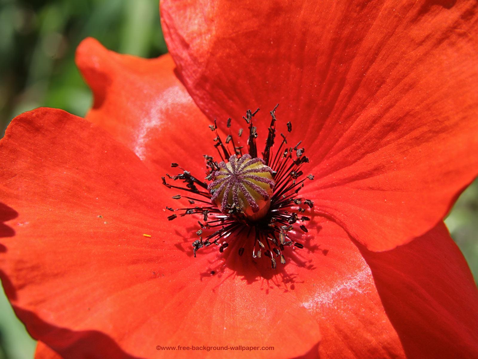 wild poppy flowers on - photo #31