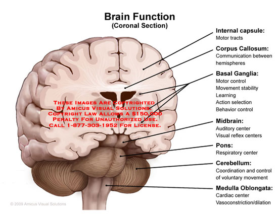 Funny Quotes About The Brain Pons. QuotesGram