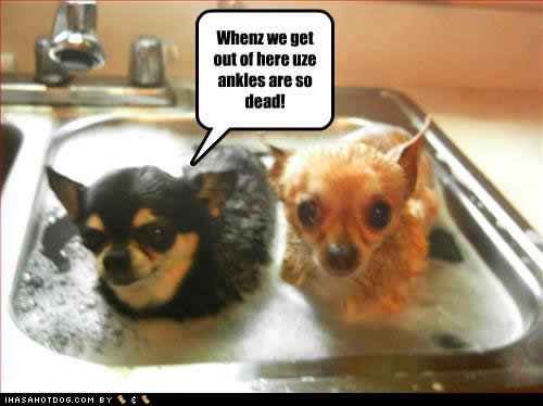 Chihuahua With Quotes Funny Posts. QuotesGram