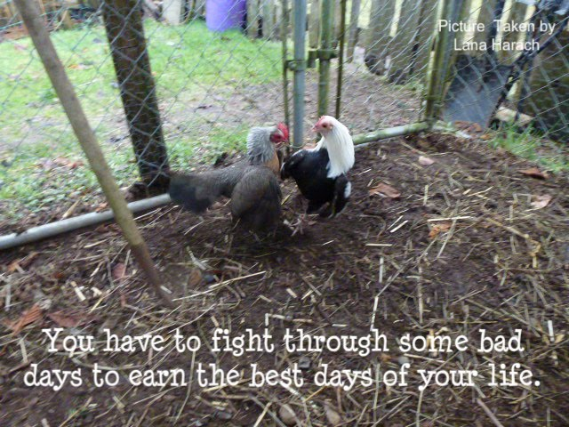 Chickens Quotes Quotesgram: Hen Quotes. QuotesGram