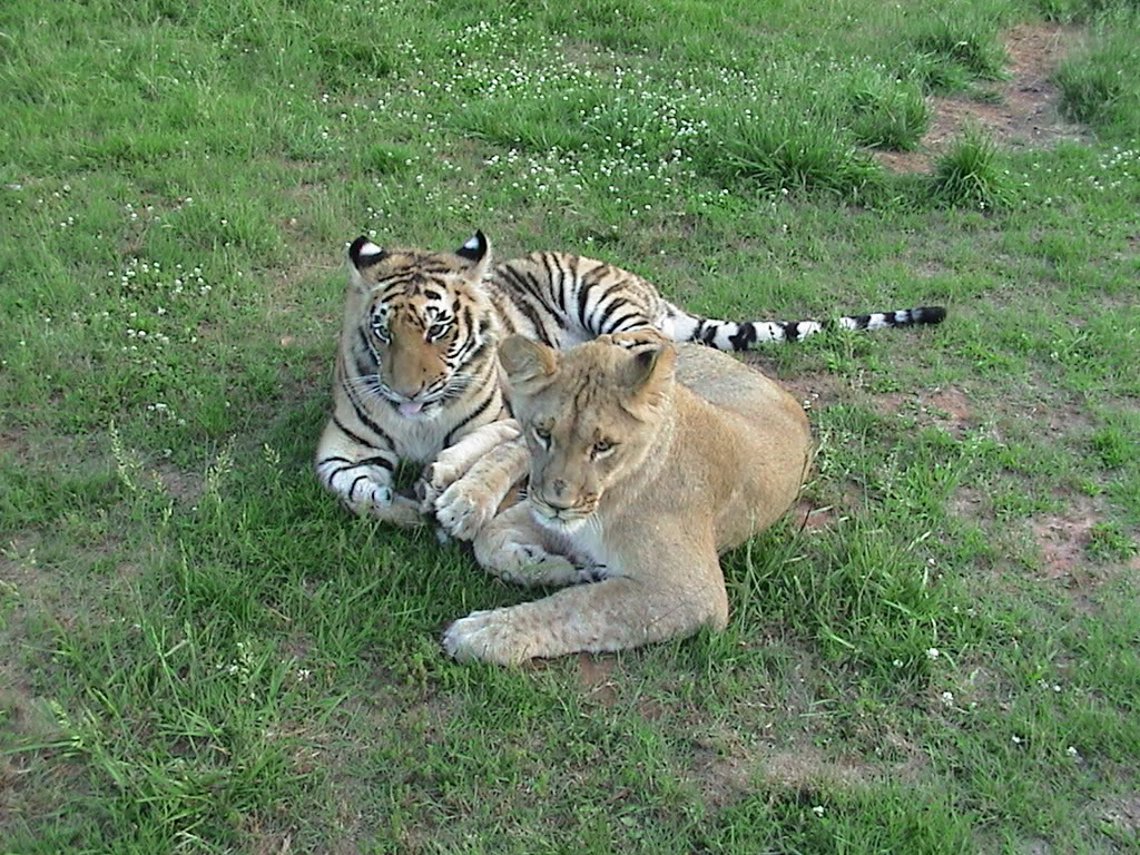 Lion Quotes And Sayings Lions And Tigers On Qu...