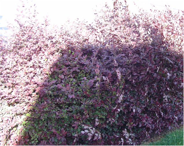 Quotes about bushes and shrubs quotesgram for Purple flowering shrubs identification