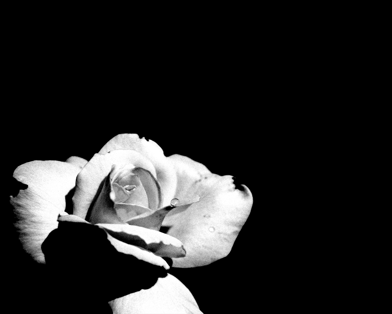 Flower Black And White Quotes Quotesgram