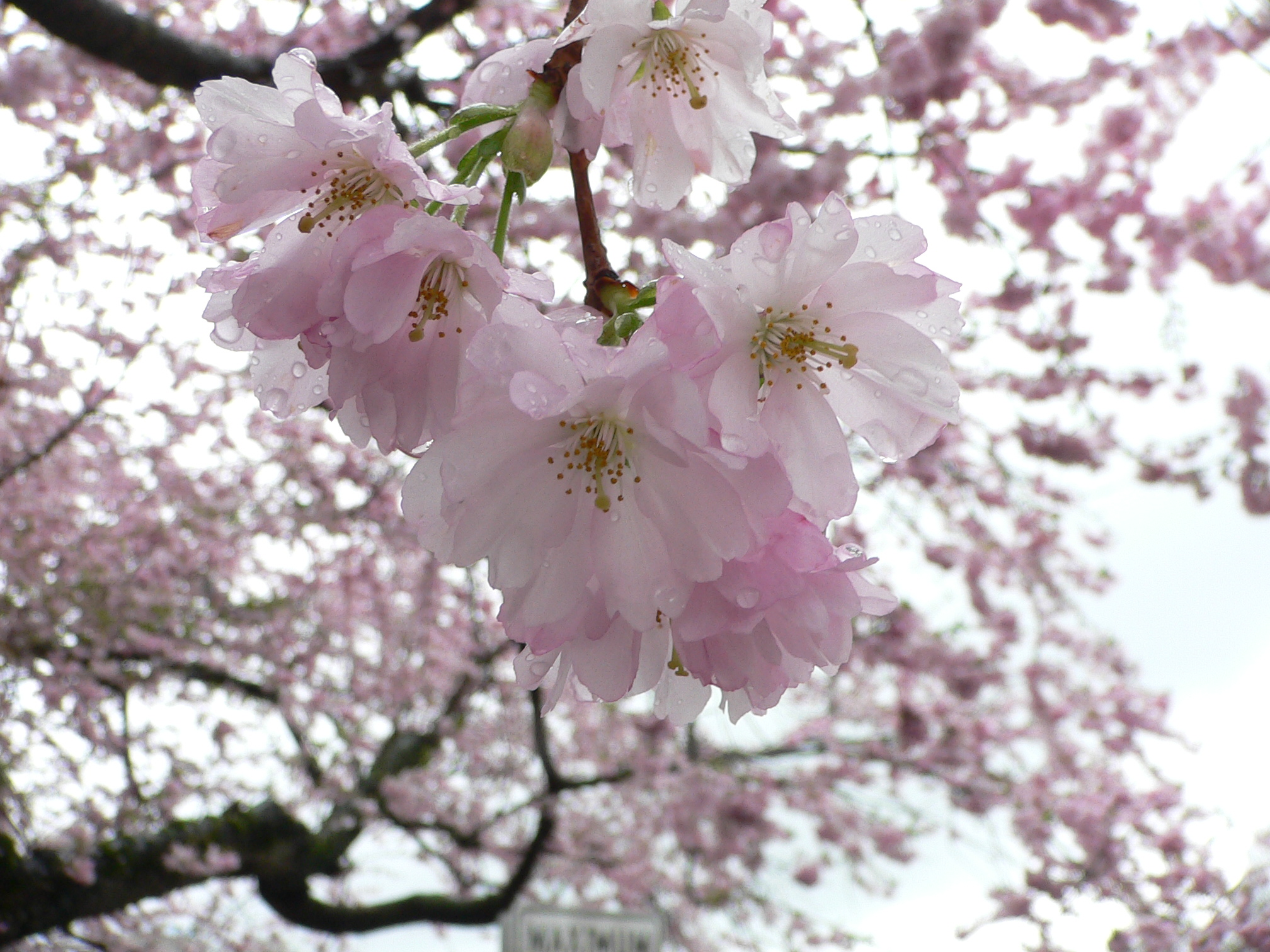 Cherry Blossom Poems And Quotes. QuotesGram