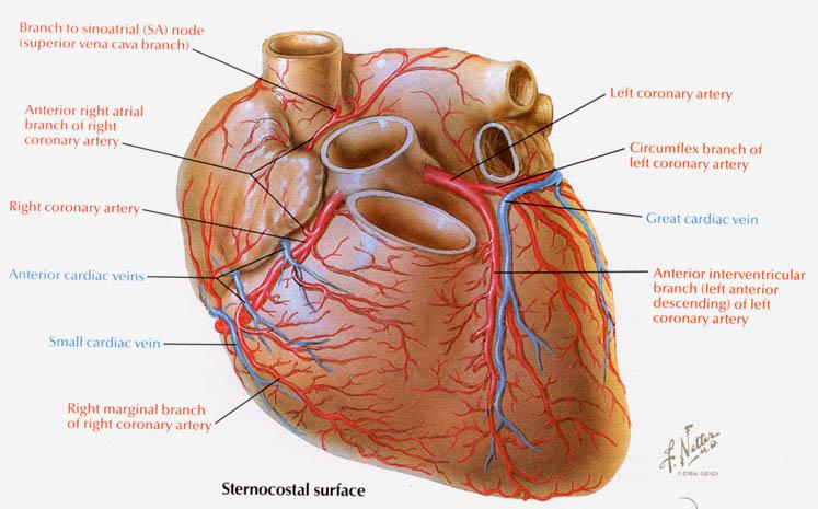 Fn Heartvesselsanterior on Diagram Of The Soul