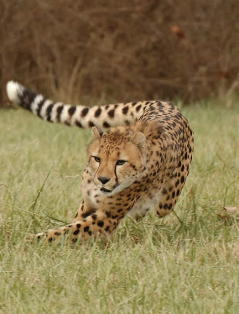 quotes about running cheetah  quotesgram