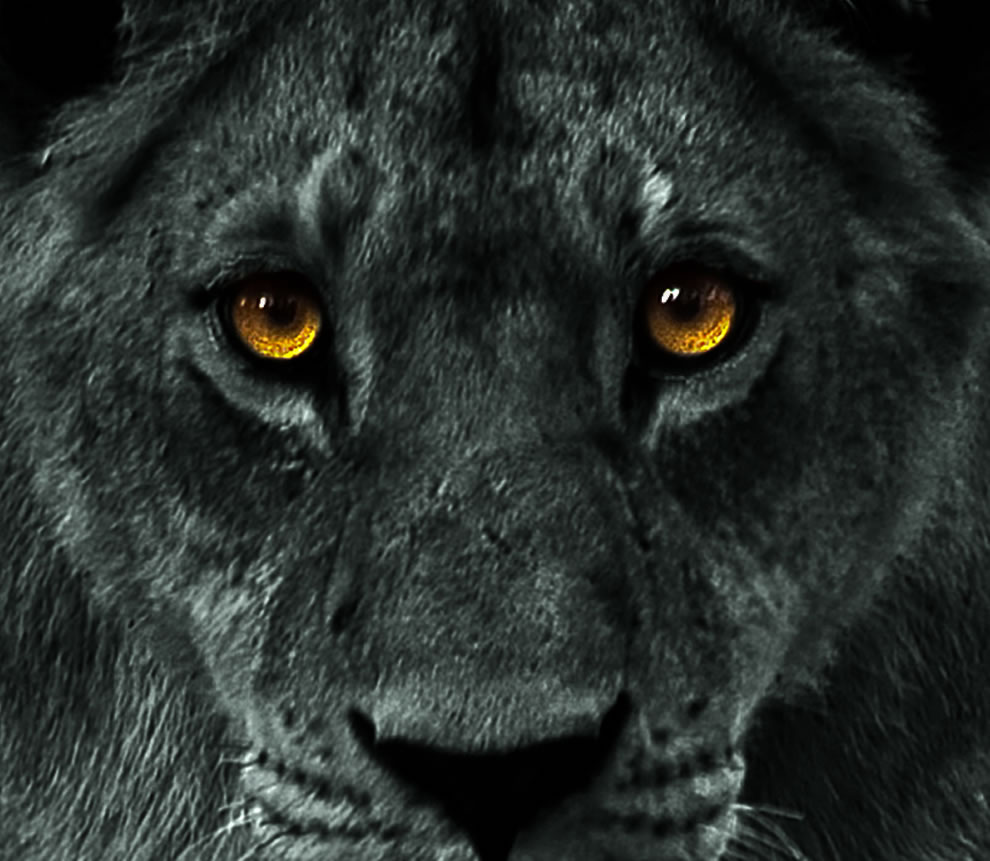 Black Lion Images Quotes. QuotesGram