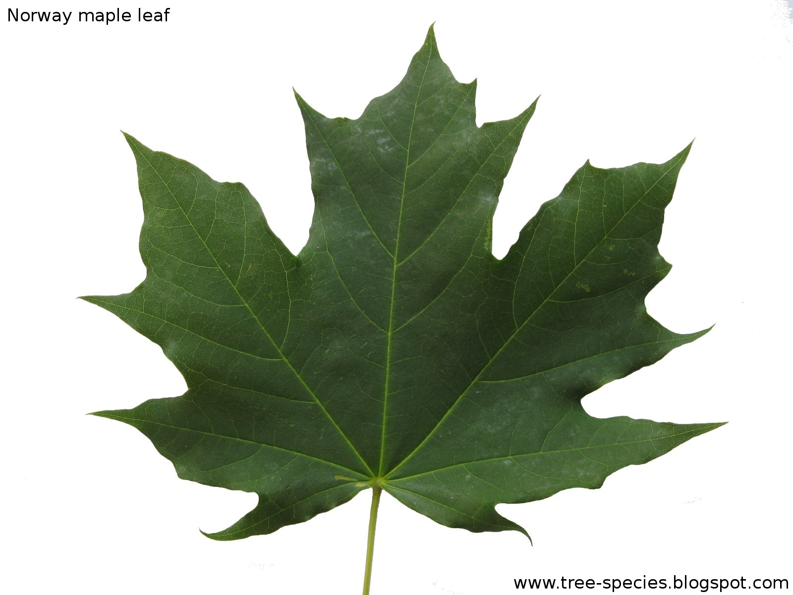 Maple Leaf Quotes Quotesgram