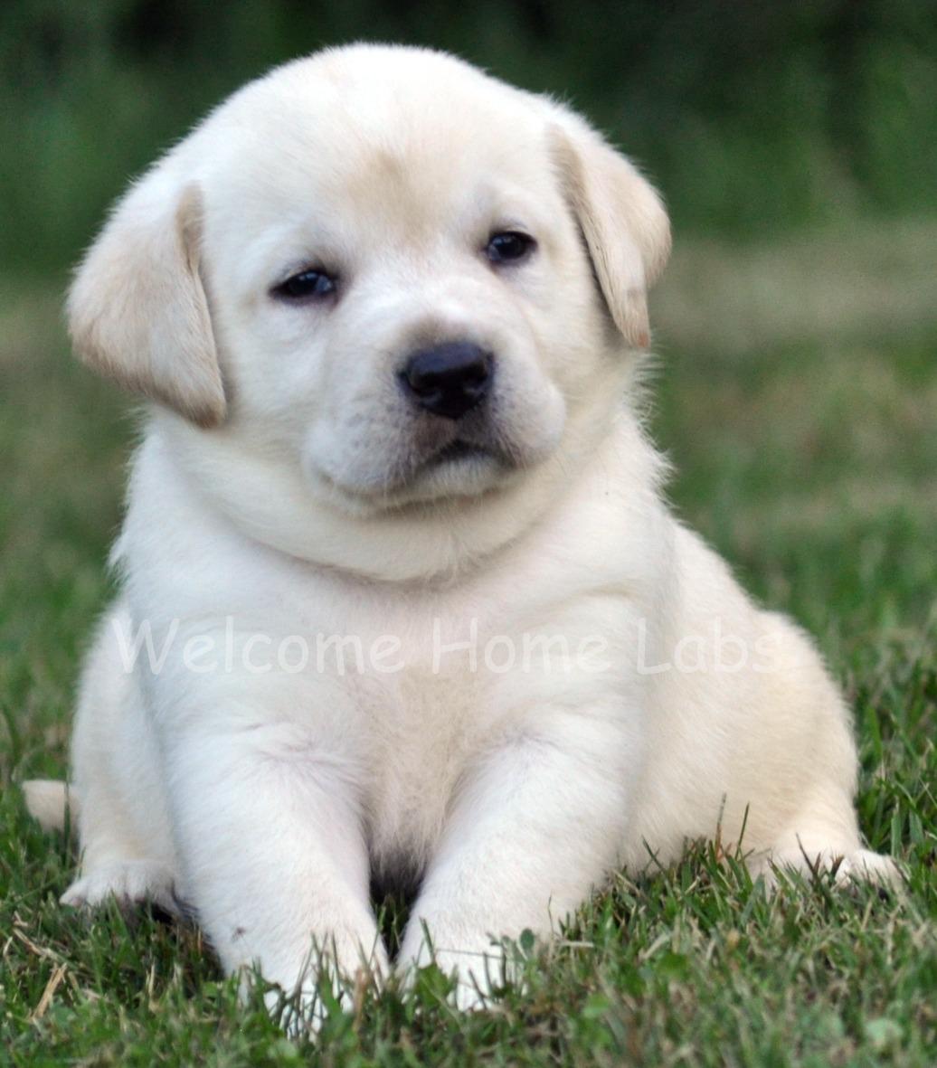 yellow lab dog - photo #5