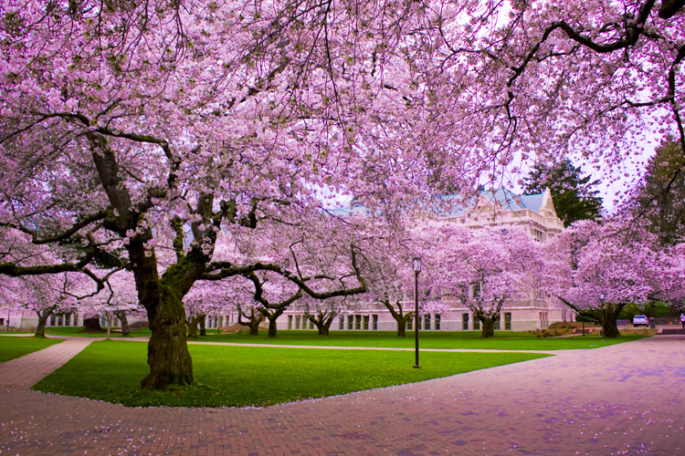 Cherry Blossom Tree Quotes. QuotesGram
