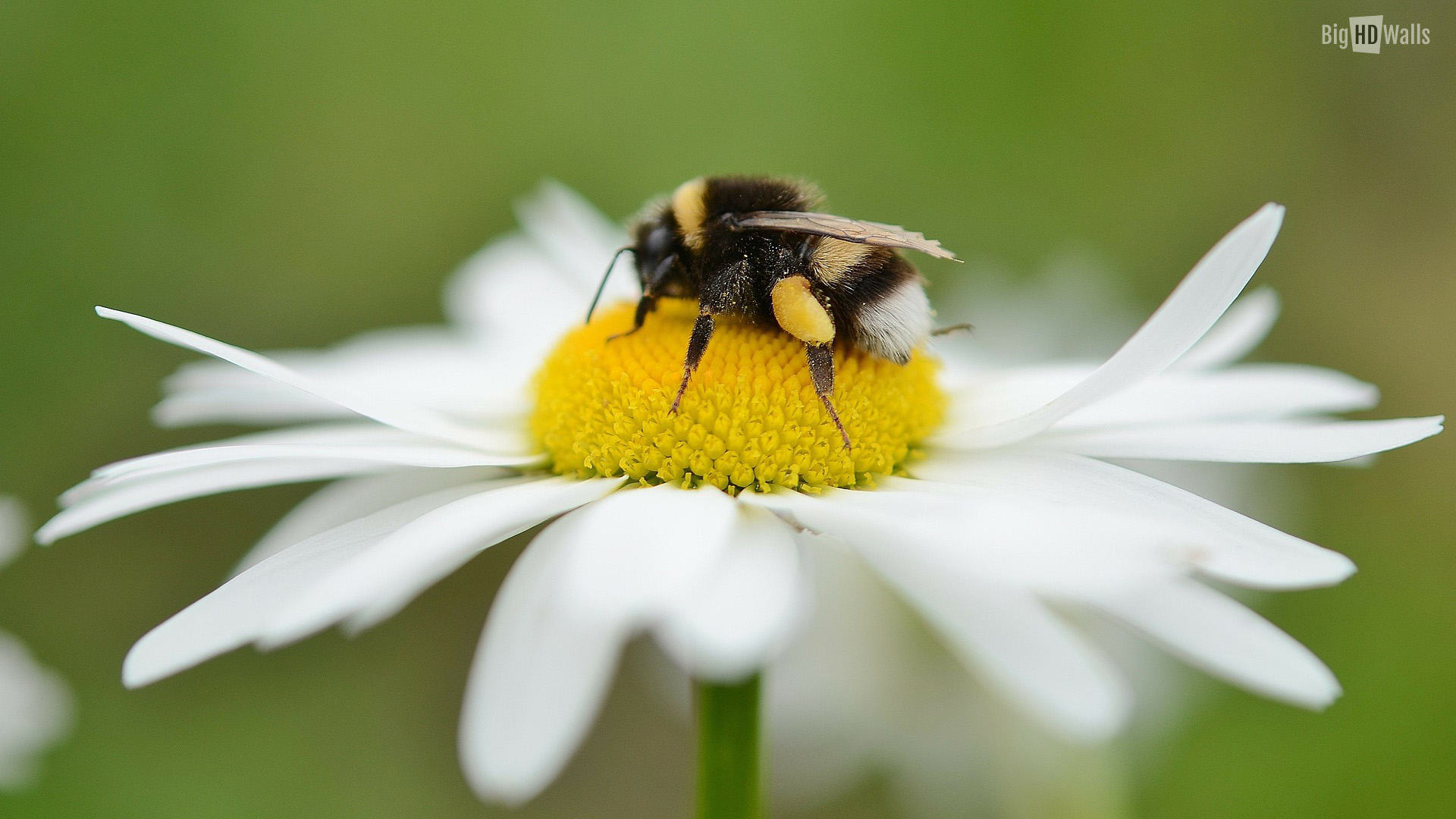 Turns Out, There's A Bee Species That Sleep In Flowers And ...