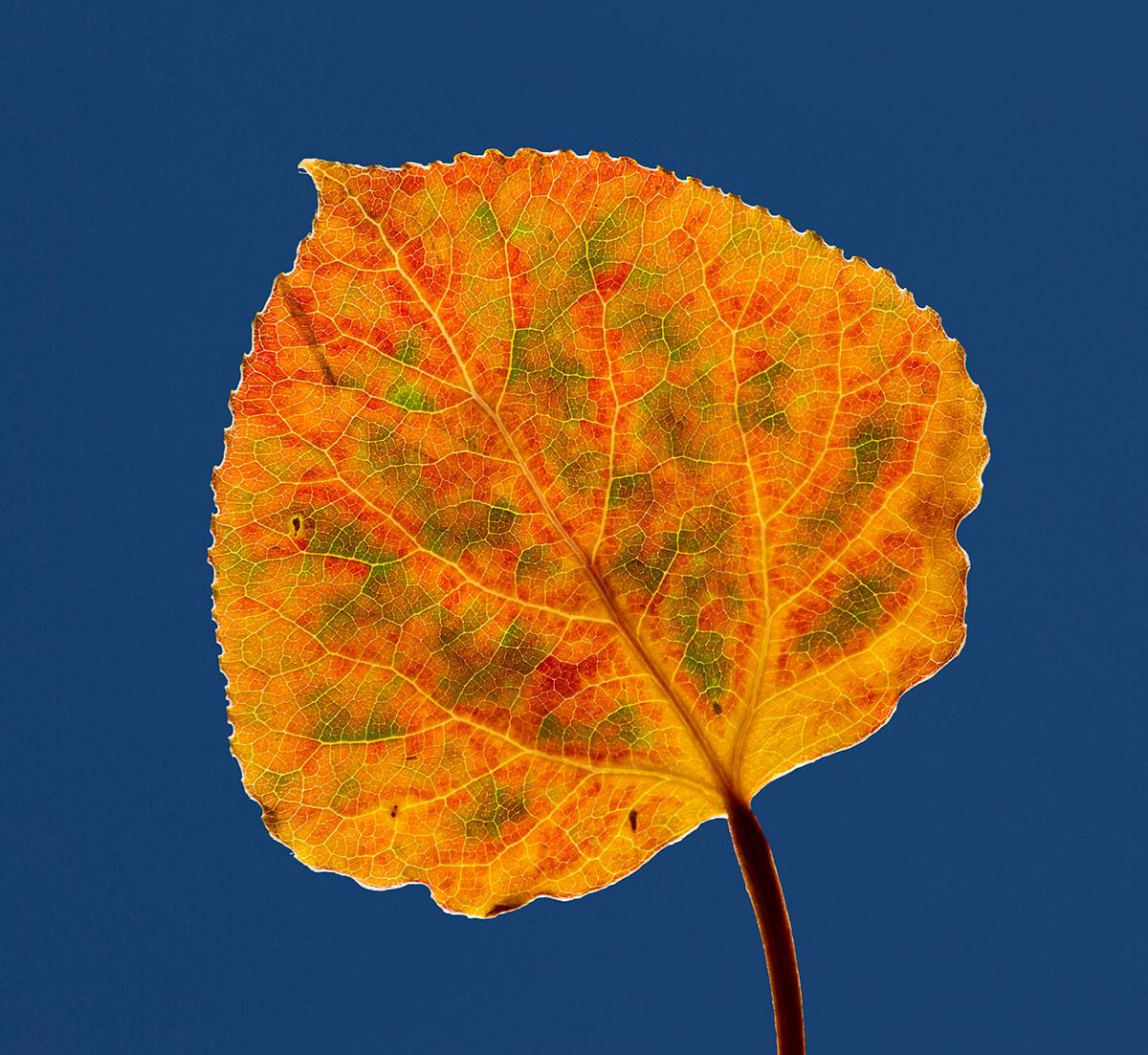 осиновый лист фото сон