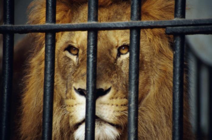 Caged Lion Quotes. QuotesGram