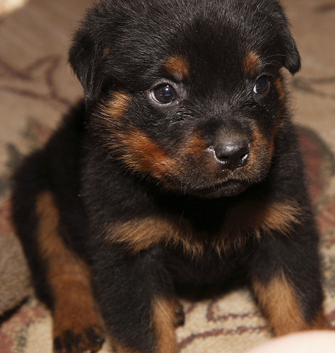 Rottweiler Wallpaper: Rottweiler Wallpapers With Quotes Funny. QuotesGram
