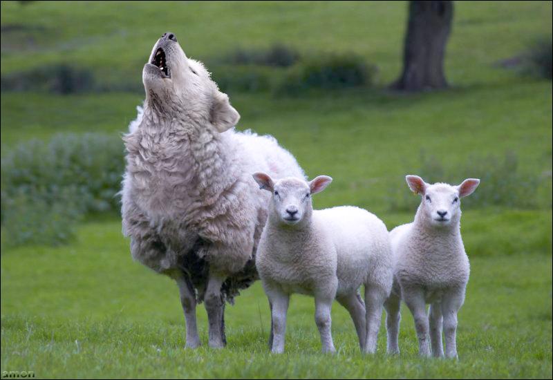 Картинка волк среди овец