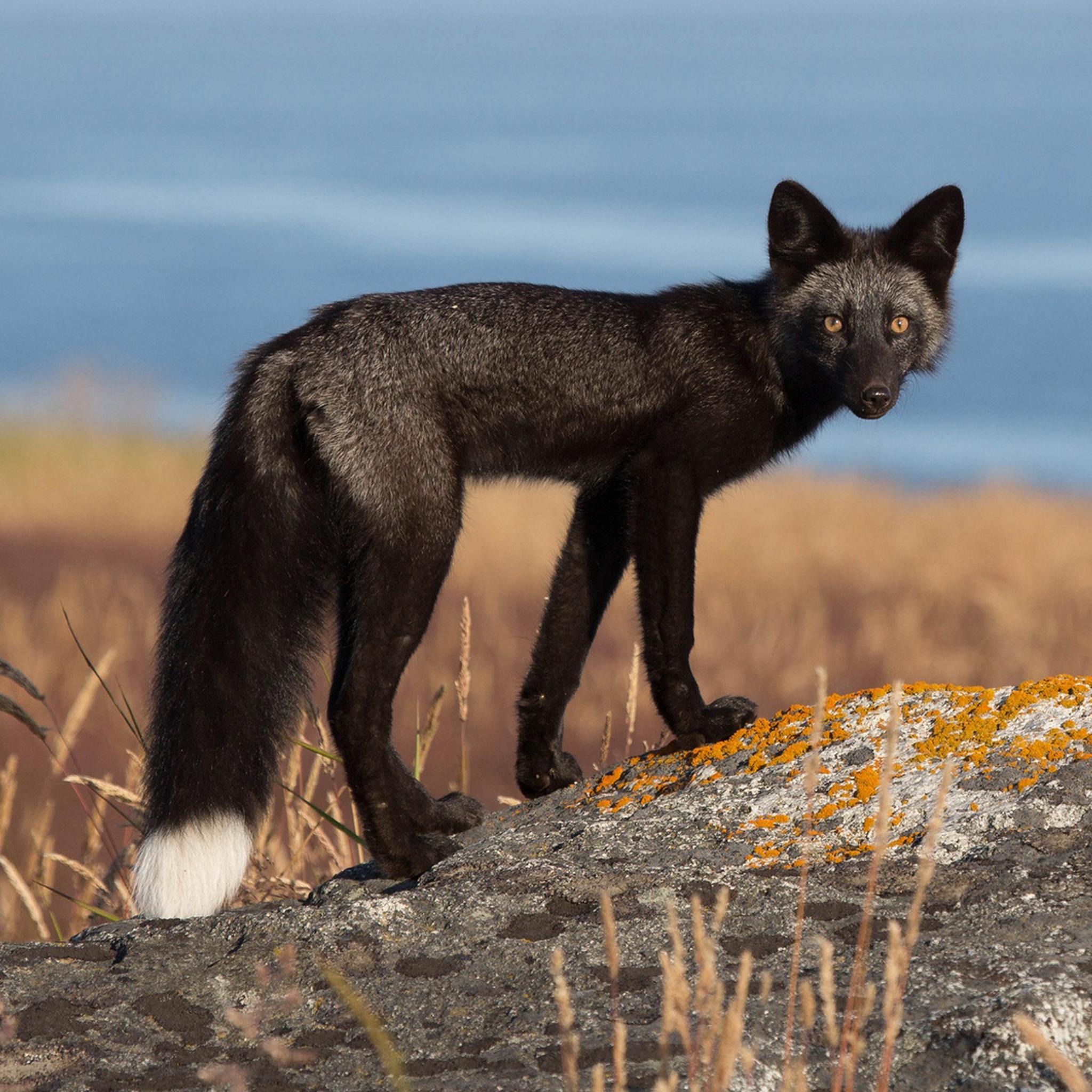 gray fox quotes  quotesgram