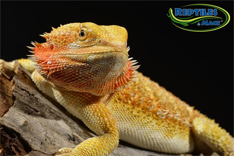 Quotes About Bearded Dragons. QuotesGram