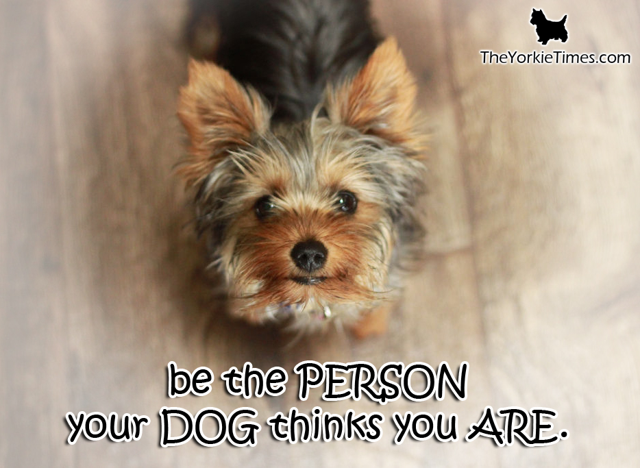 yorkie quotes funny yorkie quotes quotesgram 4624
