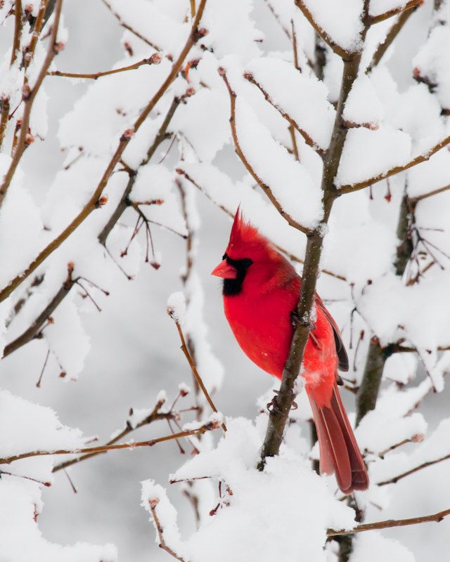 Facebook quotes for red cardinal birds quotesgram - Pictures of cardinals in snow ...